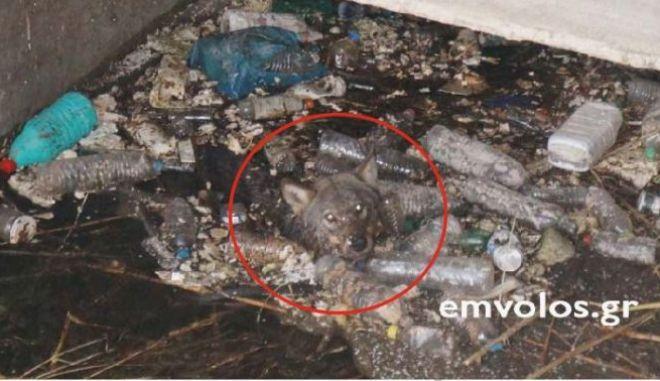Συγκλονιστικό: Καρέ καρέ η διάσωση λύκου σε κανάλι στην Ημαθία