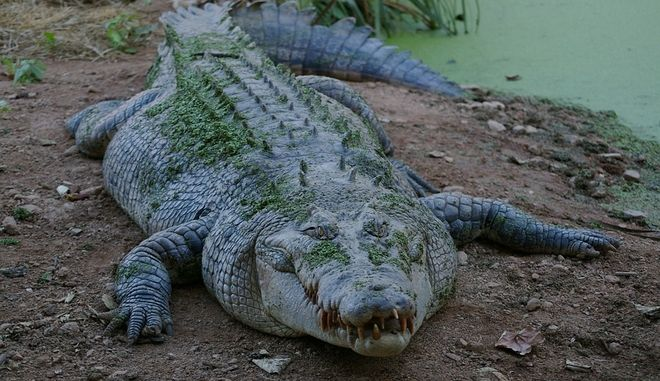 Κροκόδειλος έφαγε 10χρονο αγοράκι