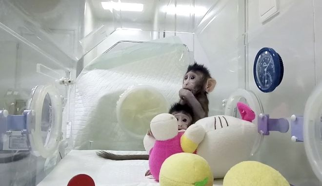 In this image taken from undated video provided by the Chinese Academy of Sciences, cloned monkeys Zhong Zhong and Hua Hua sit in a plastic enclosure. For the first time, researchers have used the cloning method that produced Dolly the sheep to create two healthy monkeys, potentially bringing scientists closer to being able to do that with humans. (Sun Qiang and Poo Muming/Chinese Academy of Sciences via AP)