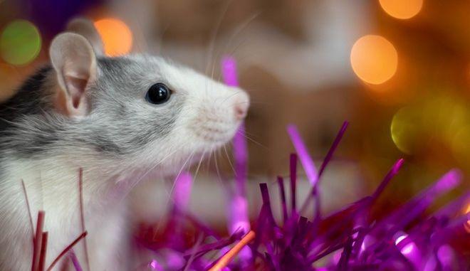 Ποντίκι, φωτογραφία αρχείου