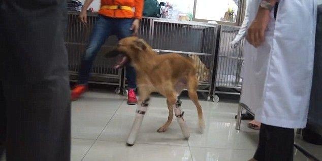 Έκοψαν τα πόδια λυκόσκυλου με σπαθί γιατί έτρωγε παπούτσια - Τώρα τρέχει πάλι με προσθετικά μέλη