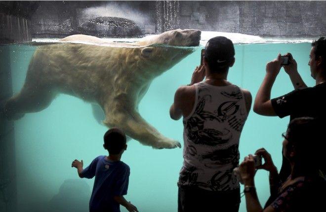 πρώτη πολική αρκούδα που γεννήθηκε σε τροπική χώρα