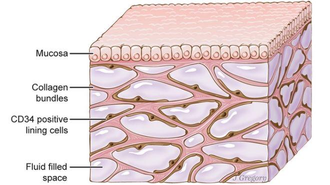 Ενδοσχοινιοειδής Πυρήνας, η άγνωστη μέχρι τώρα περιοχή κοντά στο σημείο όπου ενώνεται ο εγκέφαλος με το νωτιαίο μυελό