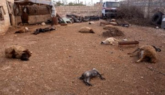 Animal carcasses lie on the ground, killed by what residents said was a chemical weapon attack on March 19 in Khan al-Assal area near the northern city of Aleppo, Syria, March 23, 2013. REUTERS/George Ourfalian (SYRIA - Tags: POLITICS CONFLICT TPX IMAGES OF THE DAY ANIMALS)