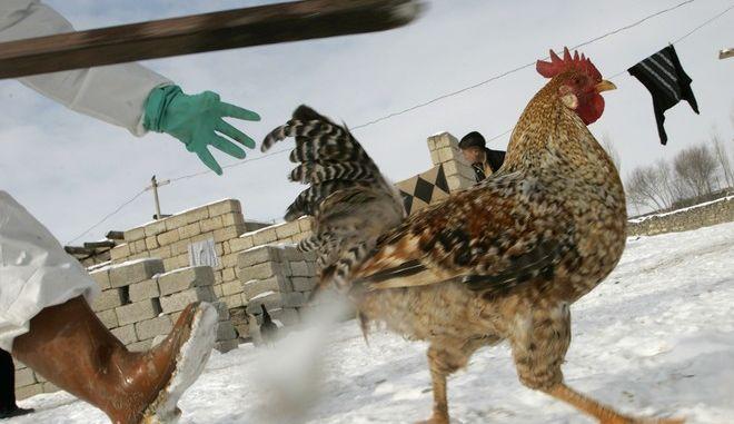 ARCHIV - Ein Huhn wird am 13. Januar 2006 im tuerkischen Uzunyazi gejagt, nachdem in dem Bestand Vogelgrippe diagnostiziert war. Das Virus hat bereits Hunderte Menschen in mehr als einem Dutzend Laendern befallen, mehr als 250 Infizierte starben: Die Rede ist nicht von der Schweinegrippe, sondern vom H5N1-Virus, das fuer die Vogelgrippe verantwortlich ist. Lange galt es als groesste Gefahr fuer eine weltweite Pandemie, wie sie nun das H1N1-Virus aus Mexiko ausloesen koennte. (AP Photo/Pier Paolo Cito) ----FILE - In this Jan. 13, 2006 a chicken tries to escape from Turkish Agriculture Ministry employees collecting poultry, in the small Turkish village of Uzunyazi, next to the Iranian border. Villagers in Turkey's southeast, where the deadly strain of bird flu is spreading, handed over their chickens and other fowl for slaughter and said they were ready to stop raising birds to minimize the chances of getting infected. (AP Photo/Pier Paolo  Cito, File)