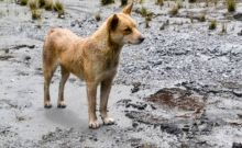 Αγριόσκυλο της Ν. Γουινέας: Εντοπίστηκε ο πιο σπάνιος και αρχαίος σκύλος του κόσμου