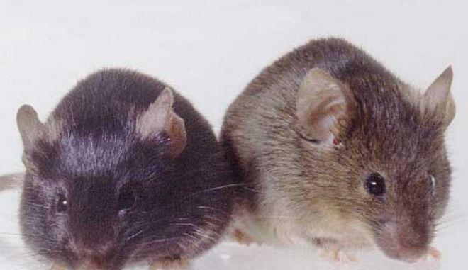 Ηράκλειο: Ποντικός μπήκε σε καφετέρια και δάγκωσε την υπάλληλο