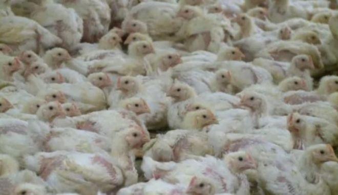 Σάλος στη Γαλλία: Πολτοποιούν χιλιάδες κόκορες που δεν μπορούν να γονιμοποιήσουν