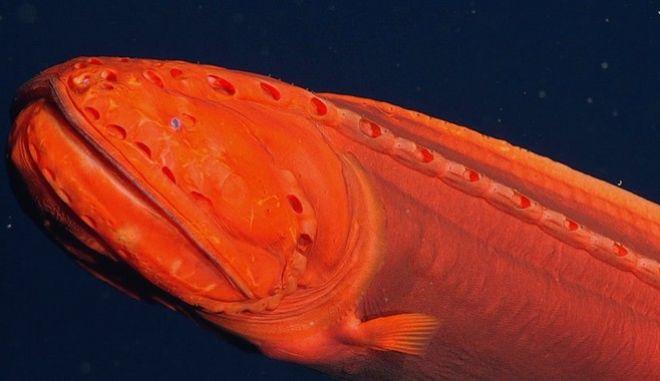 Εντοπίστηκε ψάρι που αλλάζει μορφή, στις ακτές της Καλιφόρνιας