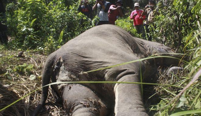 Θανατωμένος ελέφαντας της Σουμάτρας, Αρχείο