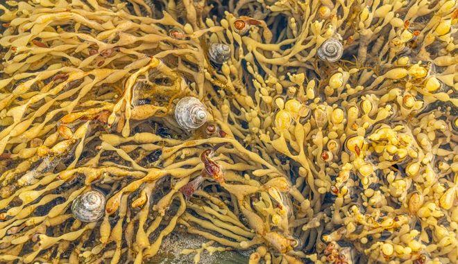 Θαλάσσια σαλιγκάρια