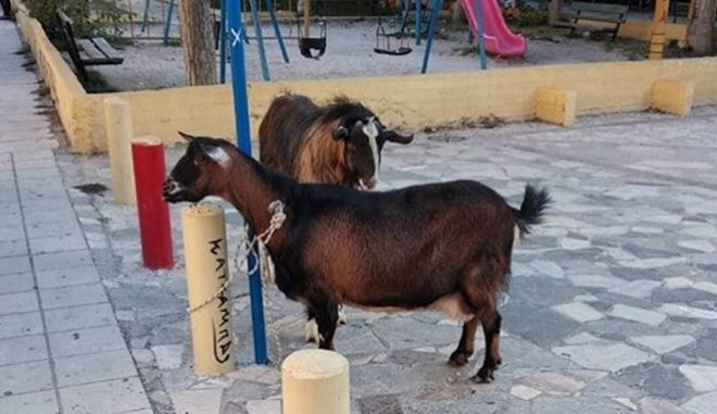 """Συνέβη στην Κρήτη: """"Συνέλαβαν"""" κατσίκα και τράγο για βανδαλισμό"""