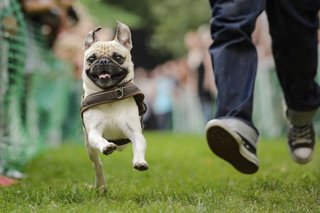 A pug races together with his owner during the pug race at the 8th International Pug Meeting in Berlin, Germany, Saturday, Aug. 19, 2017. (Gregor Fischer/dpa via AP)