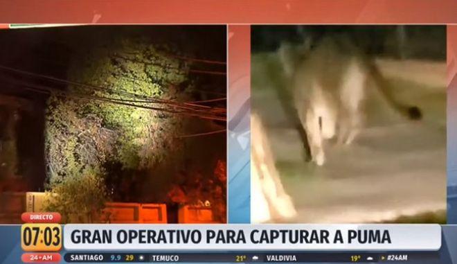 Ένα πούμα συνελήφθη να περιπλανάται στους άδειους δρόμους της Χιλής