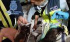 Παράνομα εκτροφεία στην Ισπανία: Έκοβαν τις φωνητικές χορδές σκύλων για να μην γαβγίζουν