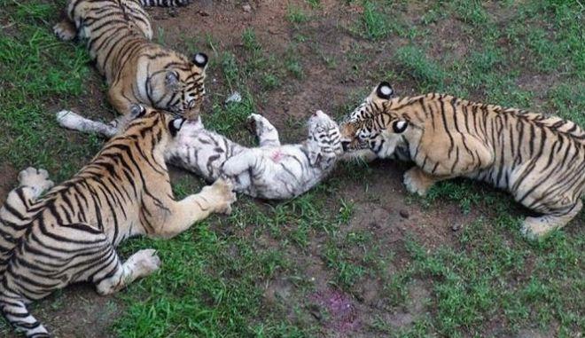Εικόνες σοκ: Τίγρεις τρώνε ζωντανό τιγράκι