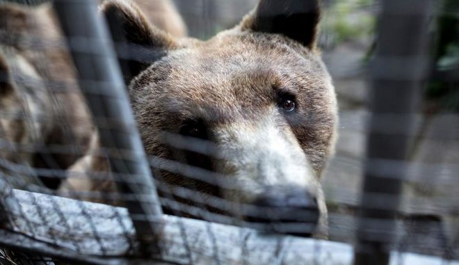 Transport operation of bears and wolves from the Zoo of Thessaloniki at the premises of Arcturos, Thessaloniki, Greece on June 5, 2015. /              , ,   5  2015.