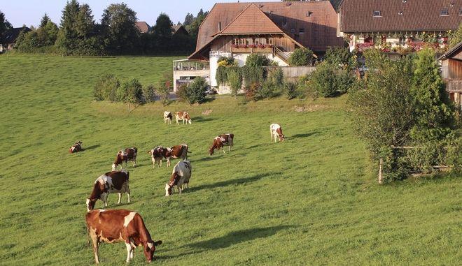 Αγελάδες στην Ελβετία