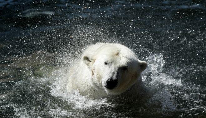 Πολική αρκούδα (ΦΩΤΟ Αρχείου)