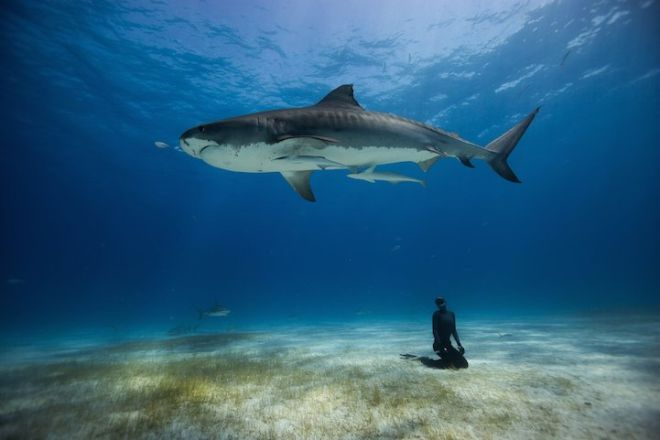 Freediving with the Tiger Sharks of the Bahamas.