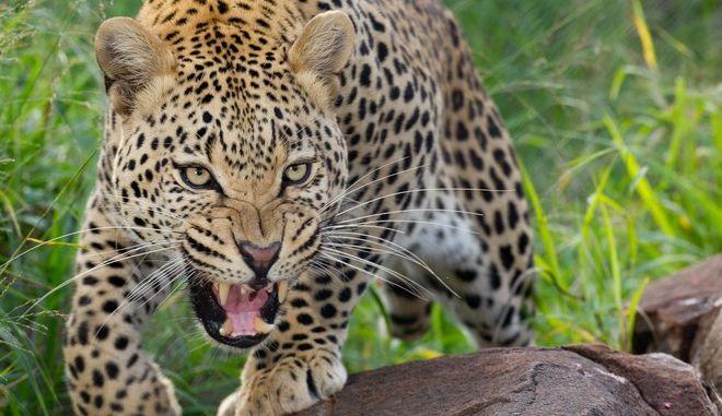 Λεοπάρδαλη στη Νότια Αφρική