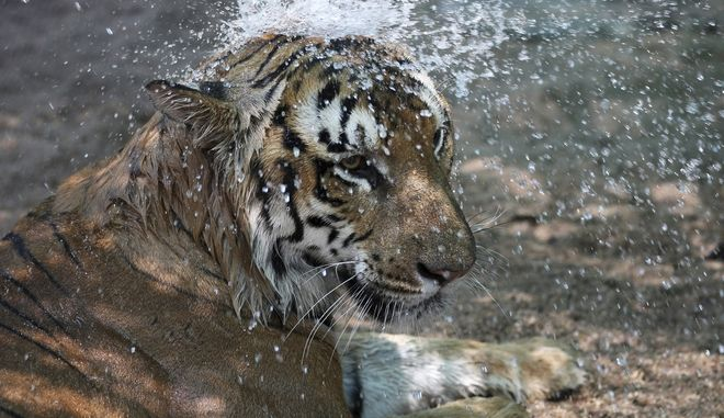 Τίγρης σε ζωολογικό κήπο