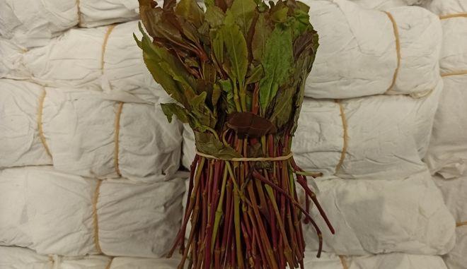 Το φυτό αποτελεί εξαιρετικά δημοφιλές ναρκωτικό για άτομα που προέρχονται κυρίως από χώρες της Αφρικής.