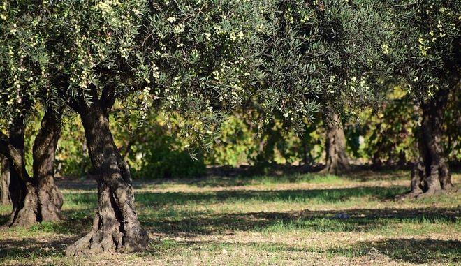 Ελληνικό Σήμα στην ελιά και στο ελαιόλαδο