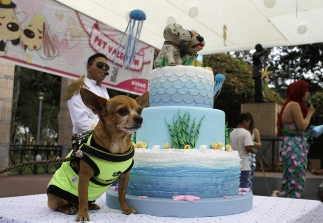 A Chihuahua dog rest next to a marriege cake in the San Isidro district of Lima, Peru, on Saturday, February 10, 2018. Some ten dog couples attended a massive dog wedding ceremony in a pre-celebration of Valentine's Day. (AP Photo/Martin Mejia)