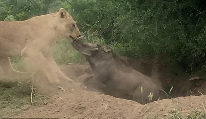 Κανένας Lion King: Λιοντάρι βγάζει Φακόχοιρο από τη φωλιά του και τον τρώει