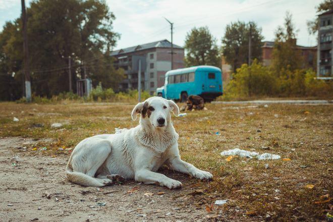 Σκύλος στην περιοχή του Τσερνόμπιλ