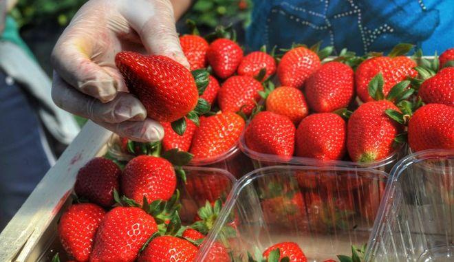 Συγκομιδή φράουλας σε θερμοκήπιο