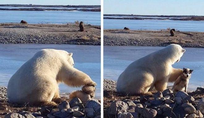Βίντεο: Το χάδι μιας πολικής αρκούδας σε έναν αλυσοδεμένο σκύλο