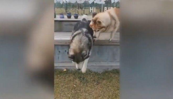 Ο ορισμός της στοργής: Χάσκυ βοηθά το τυφλό αδελφάκι του να πηδήξει από παγκάκι